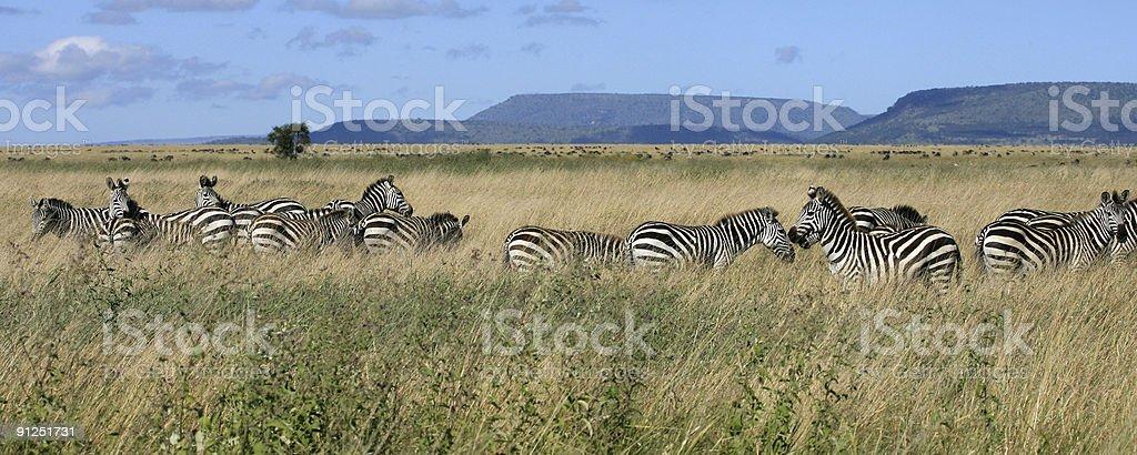 Zebra herd Serengeti Tanzania royalty-free stock photo