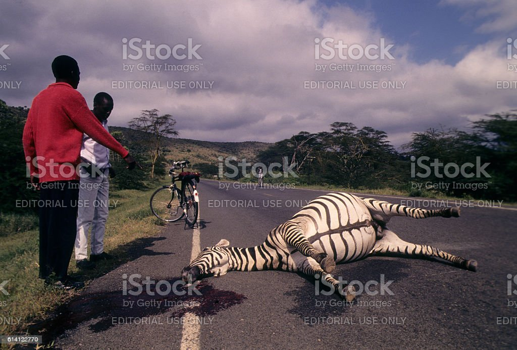 Zebra hit and killed by a car in Lake Naivasha stock photo