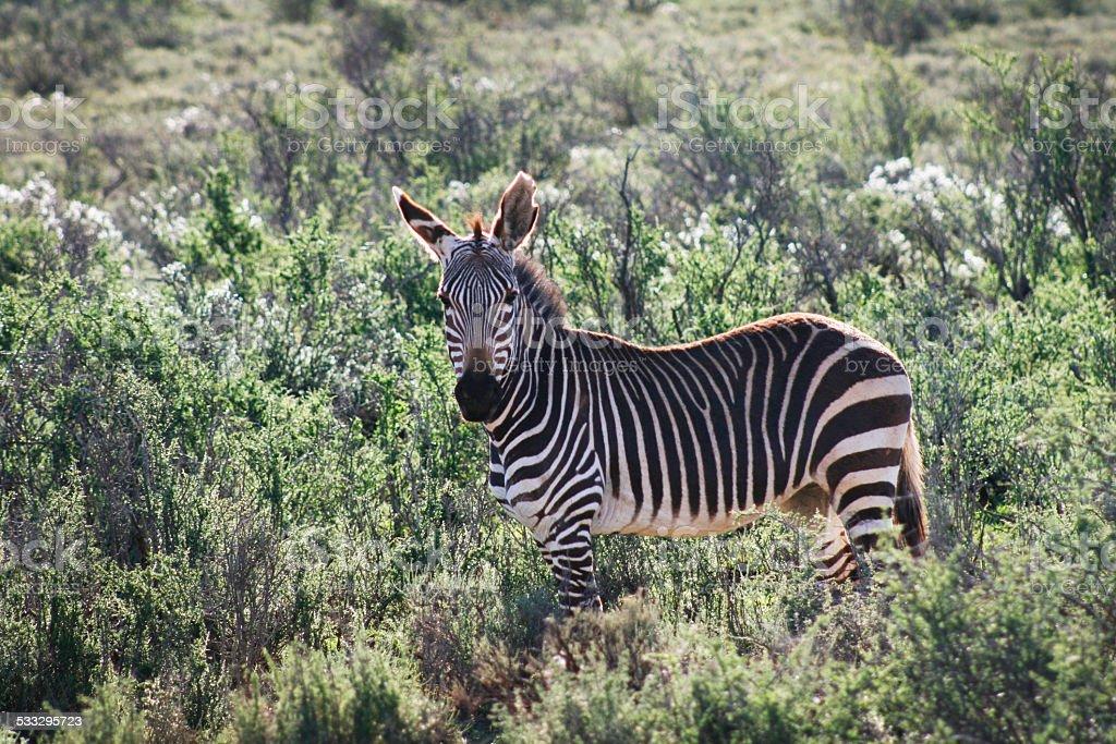 Zebra in bushes stock photo