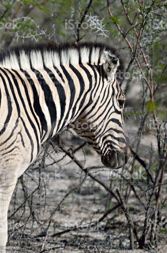 Zebra in Etosha, Namibia stock photo