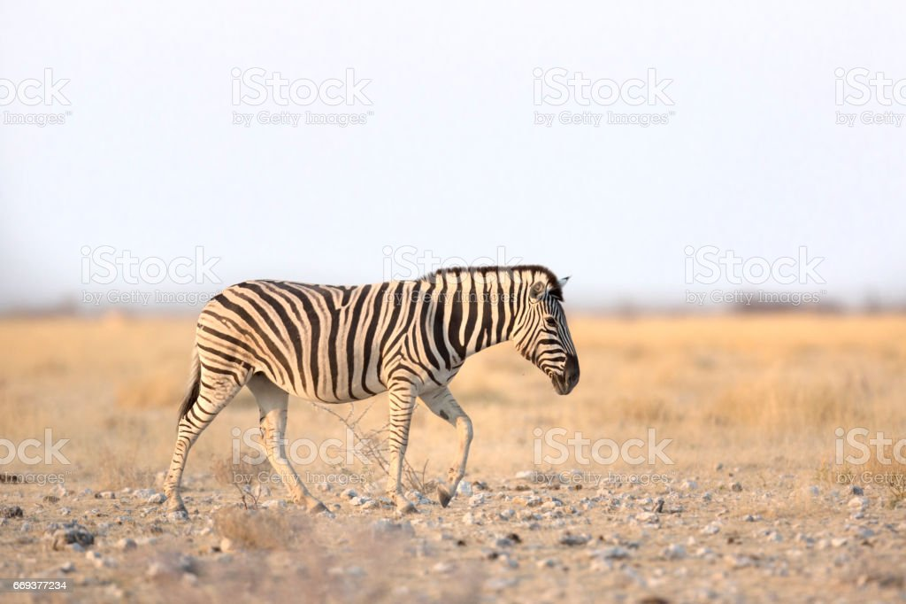 Zebra in Etosha National Park stock photo