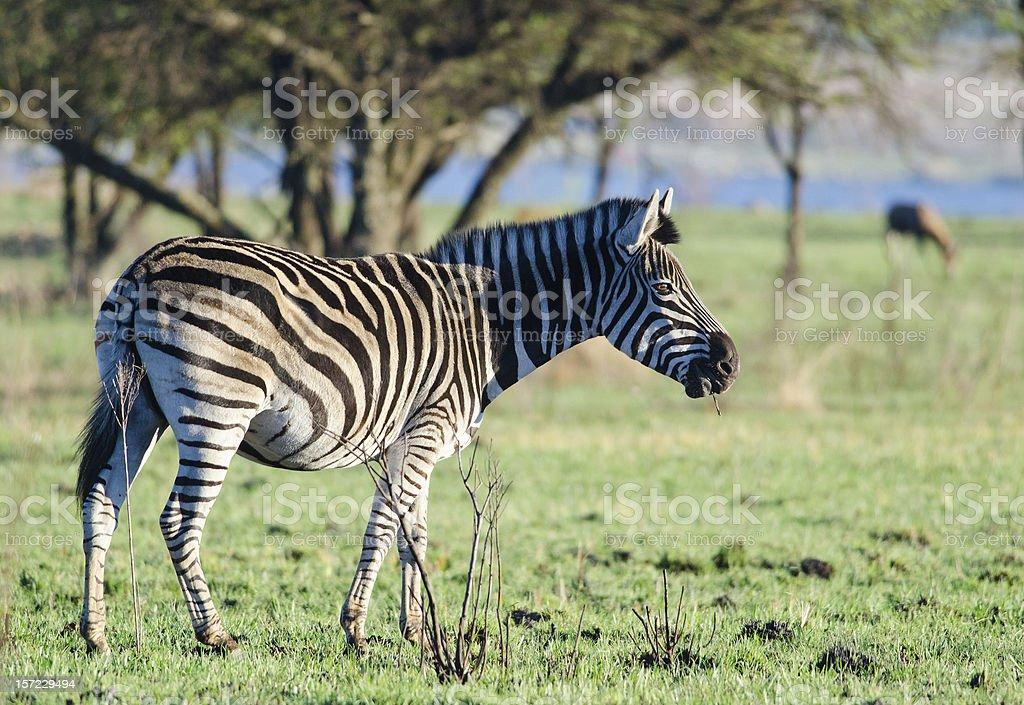 Zebra in green lanscape stock photo