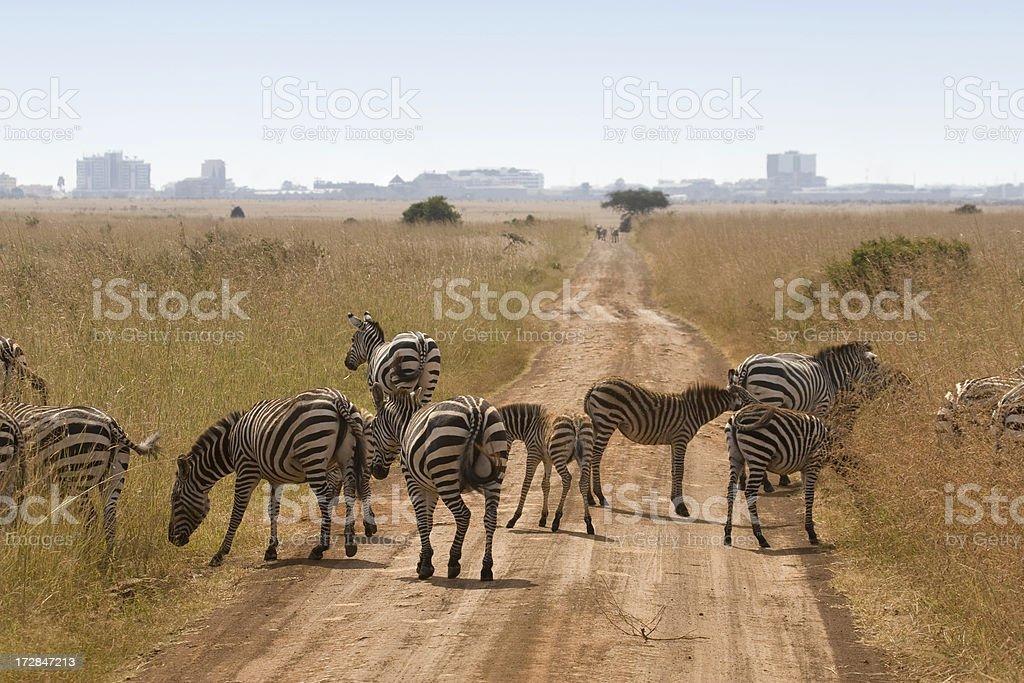 Zebra in Kenya royalty-free stock photo