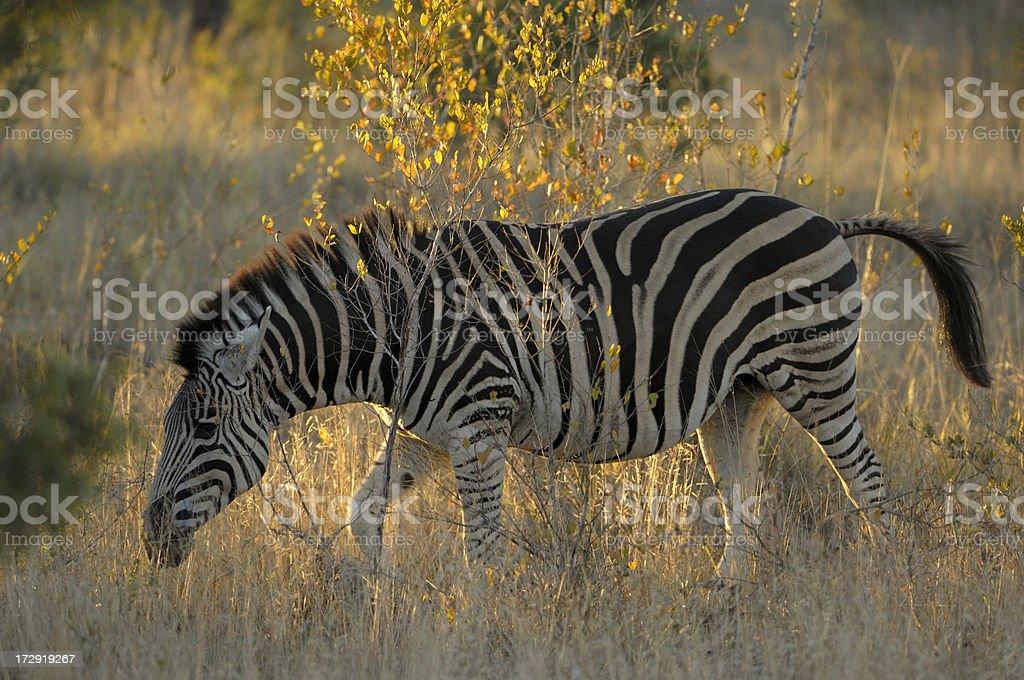 Zebra in sabi sands at sunset stock photo