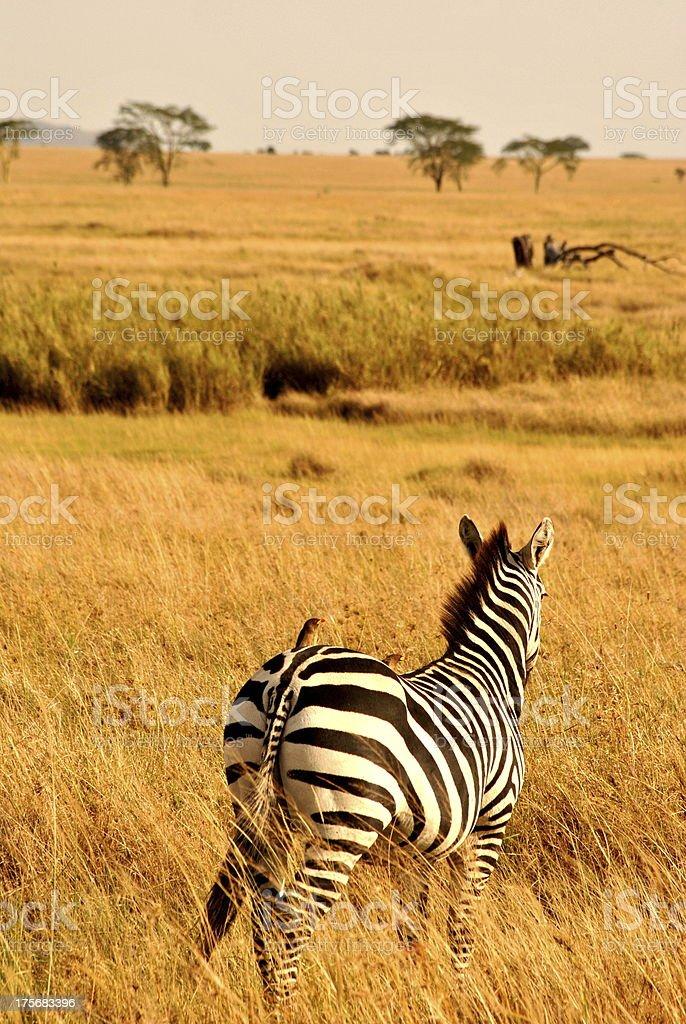 Zebra in Serengeti National Park stock photo