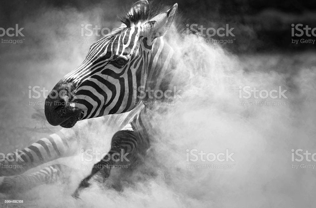 Zebra in the dust stock photo