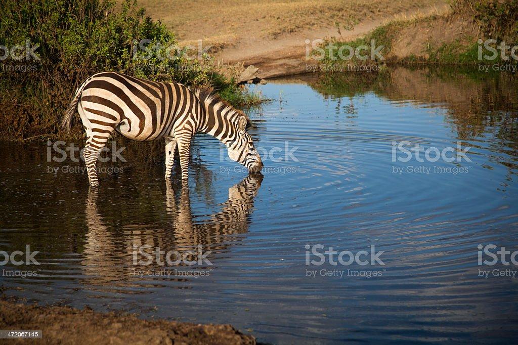 Zebra in the evening light: Serengeti, Tanzania stock photo