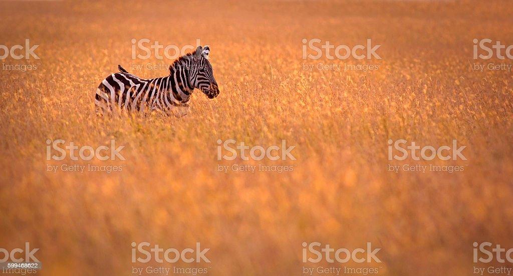 Zebra in the grass stock photo