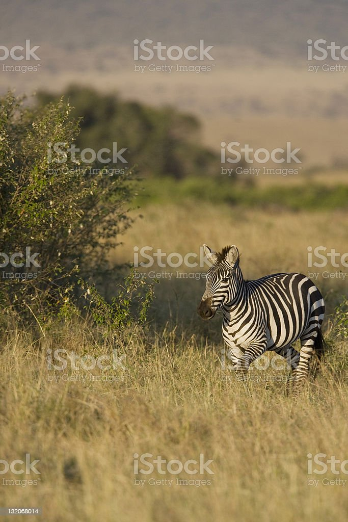 Zèbre du Masaï Mara photo libre de droits