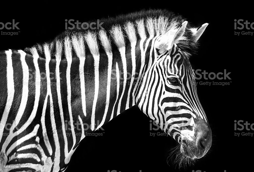 Zebra in the park stock photo