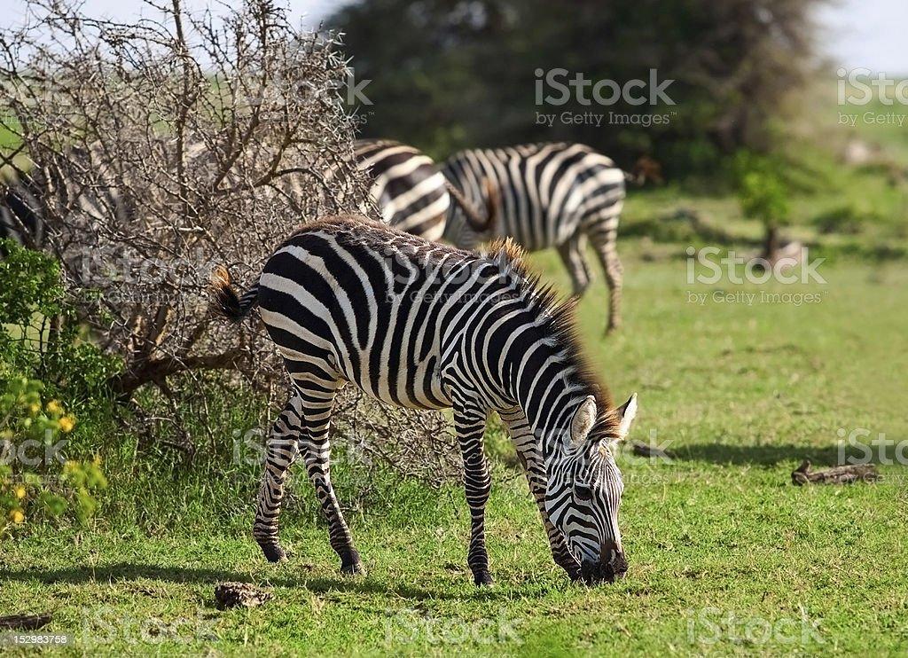 Zebra in the Serengeti royalty-free stock photo