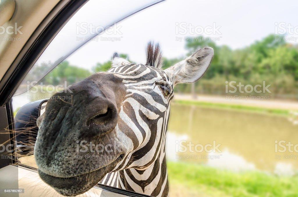 Zebra in the tourists car stock photo