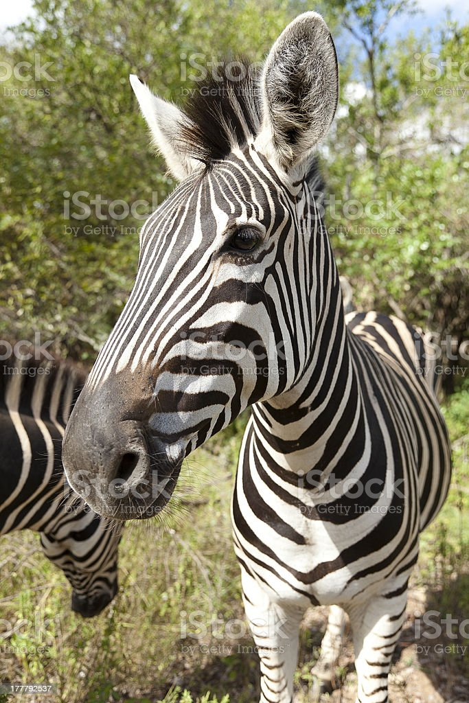 Zebra in the wild facing forward closeup royalty-free stock photo