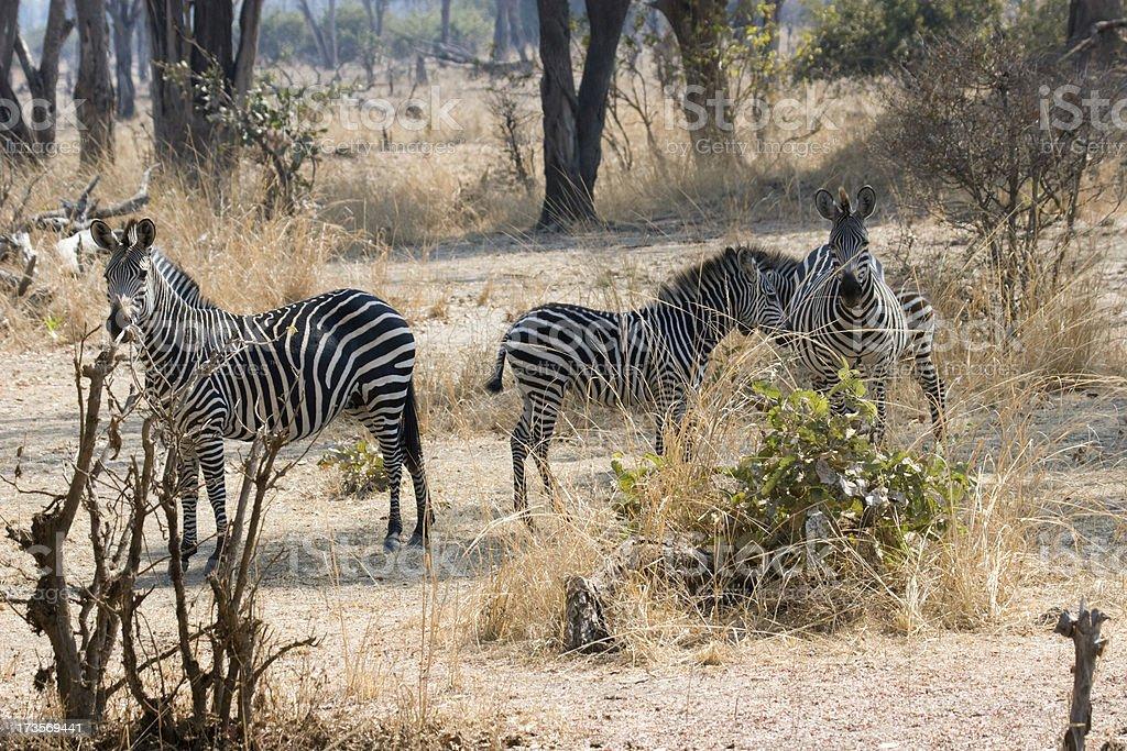 Zebra in Zambia stock photo