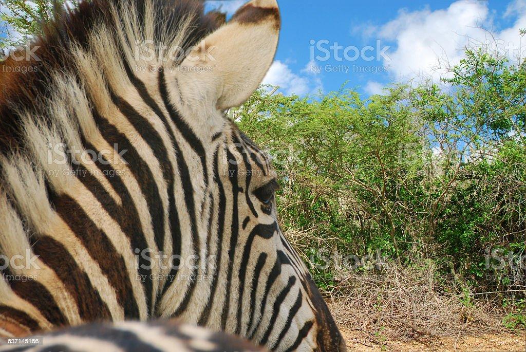 Zebra infront of outback landscape. stock photo