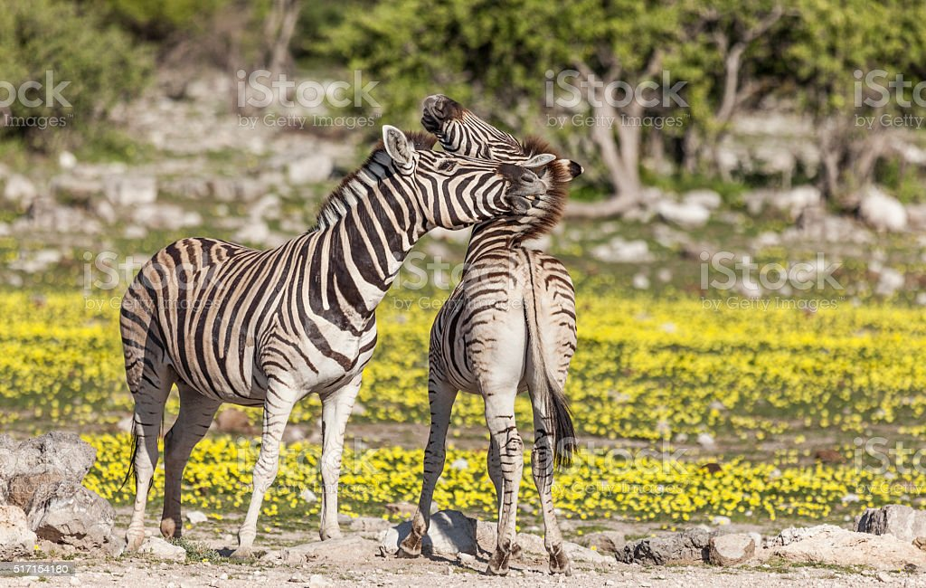 Zebra interaction, nipping and biting, Etosha NP, Namibia, Africa stock photo