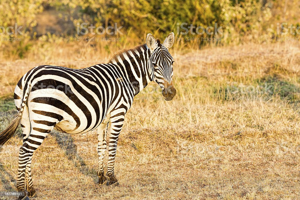 Zebra is looking at camera early in the morning stock photo