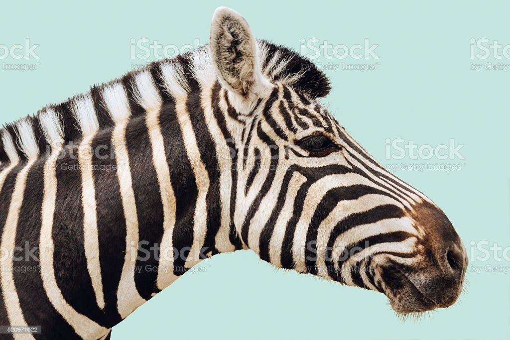 Zebra isolated head stock photo