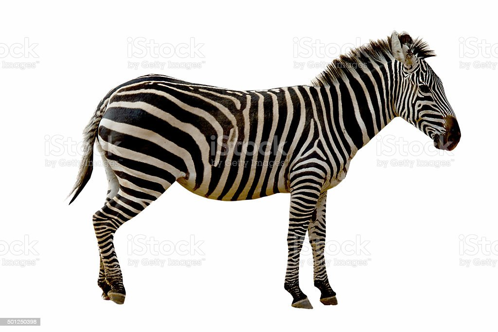 Zebra isolated on white background stock photo