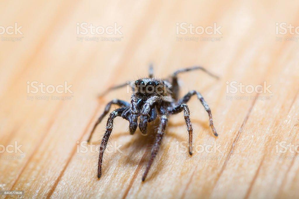 zebra jumping spider stock photo