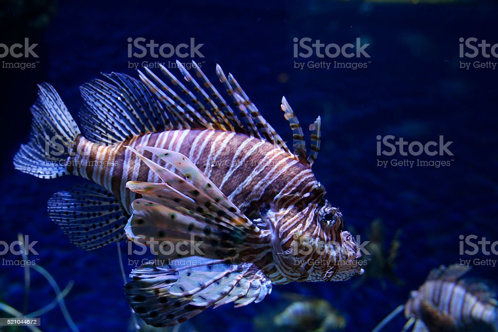 Zebra Lionfish stock photo
