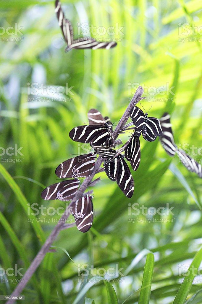 Zebra longwing butterflies  RM stock photo