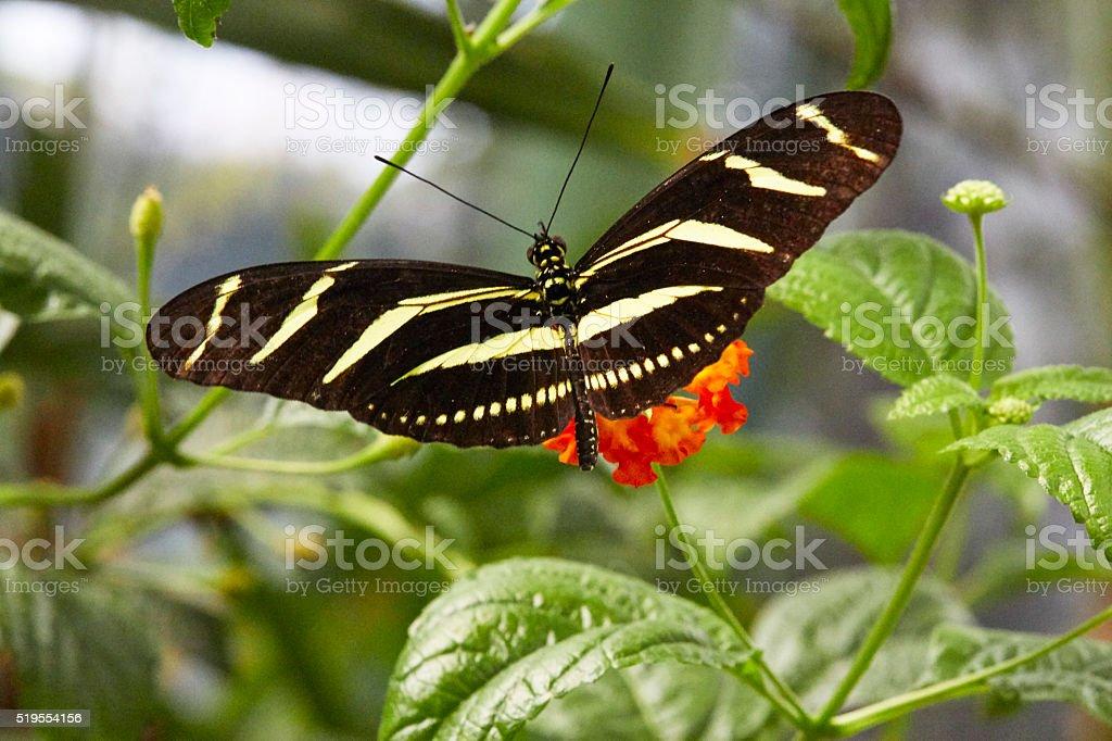 Zebra Longwing Butterfly Macro stock photo