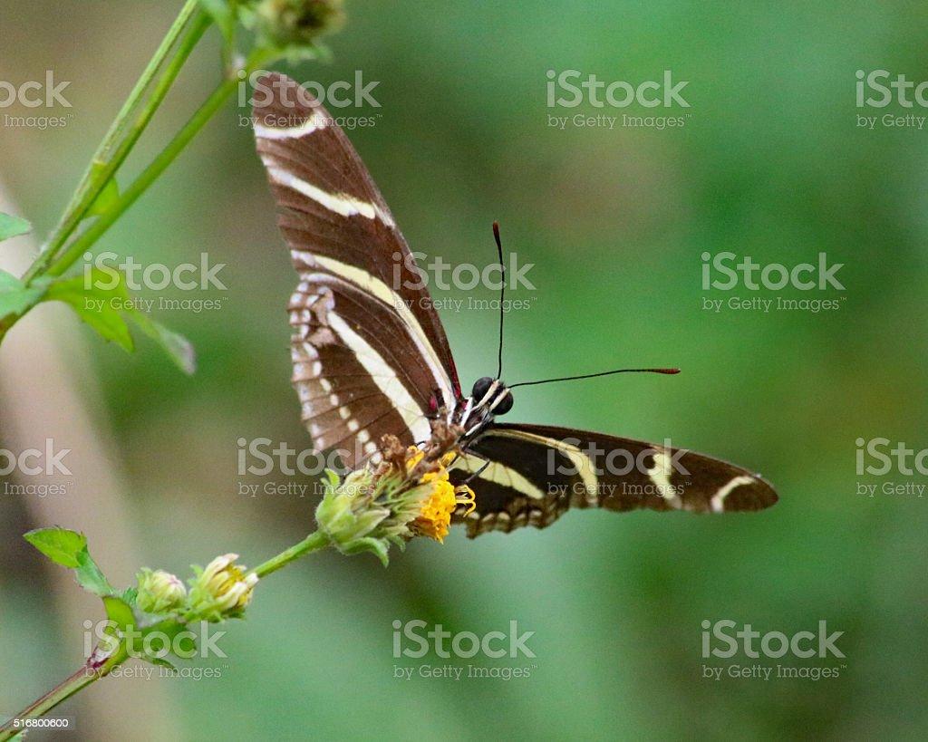Zebra longwing butterfly stock photo