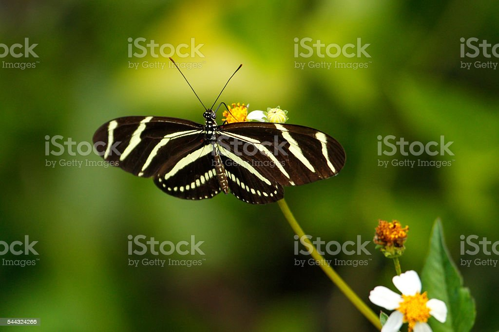 Zebra Longwing butterfly (Heliconius charithonia) stock photo