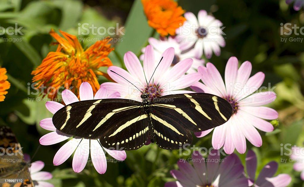 Zebra Longwing Butterfly Resting on a Daisy Flower Garden royalty-free stock photo