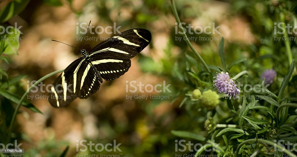 Zebra Longwing Butterfly Standing on Flower in Garden royalty-free stock photo