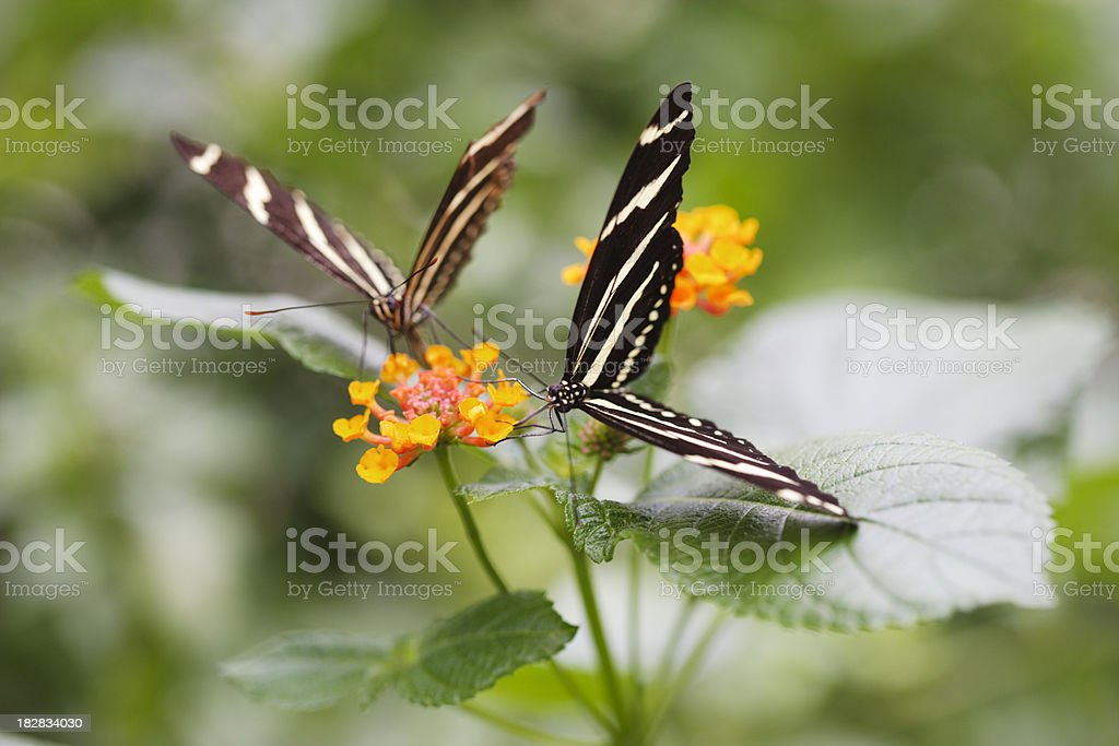 Zebra longwing butterfly with flower bloom stock photo