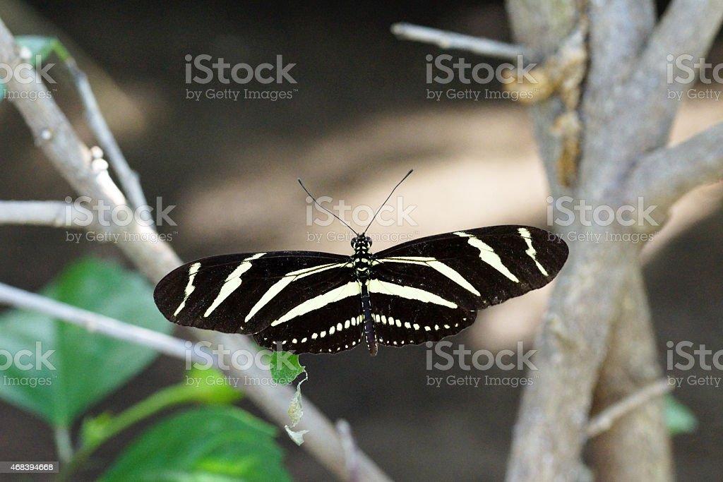 Zebra longwing close-up stock photo