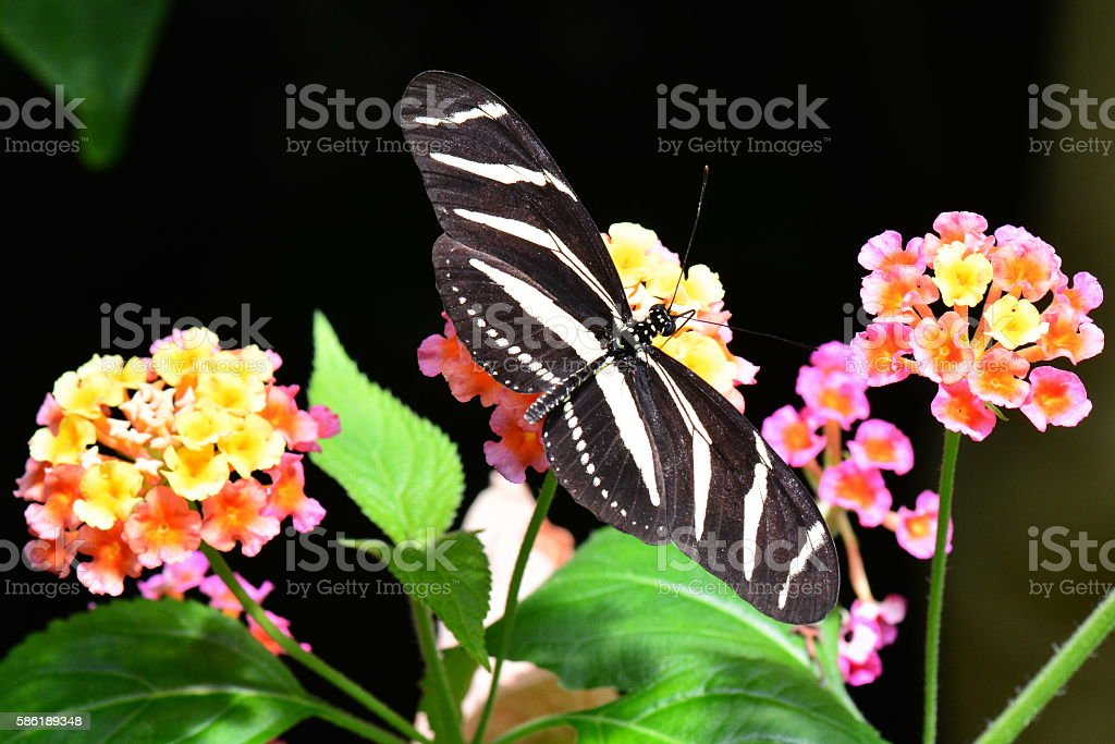 Zebra longwing stock photo