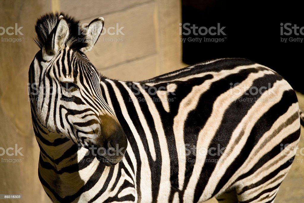 Zebra look back stock photo