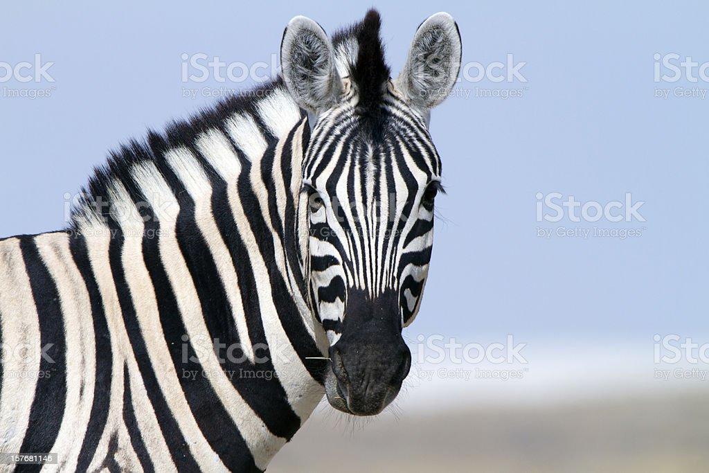 Zebra looking at camera, Etosha National Park, Namibia stock photo