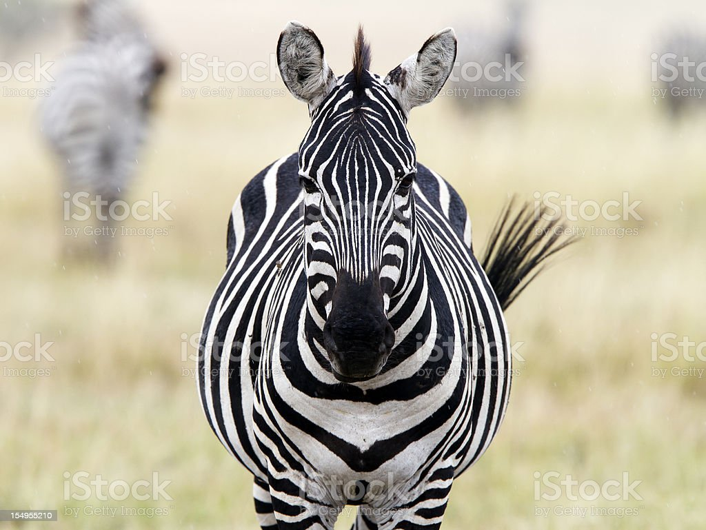 Zebra looking at camera, Masai Mara National Park, Kenya stock photo