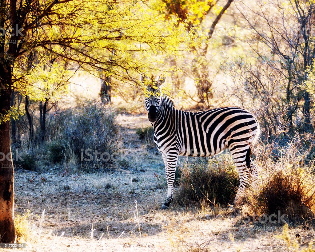 Zebra looking at camera, Waterberg district,Limpopo,South Africa stock photo
