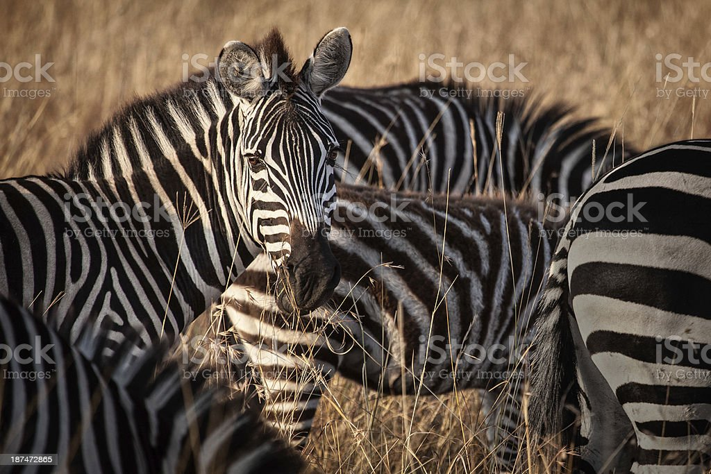 Zebra looking at the camera stock photo