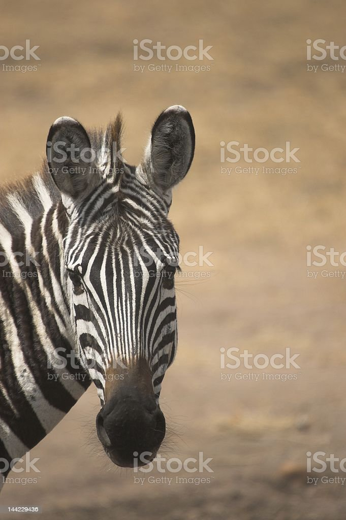 Zebra looking at viewer royalty-free stock photo