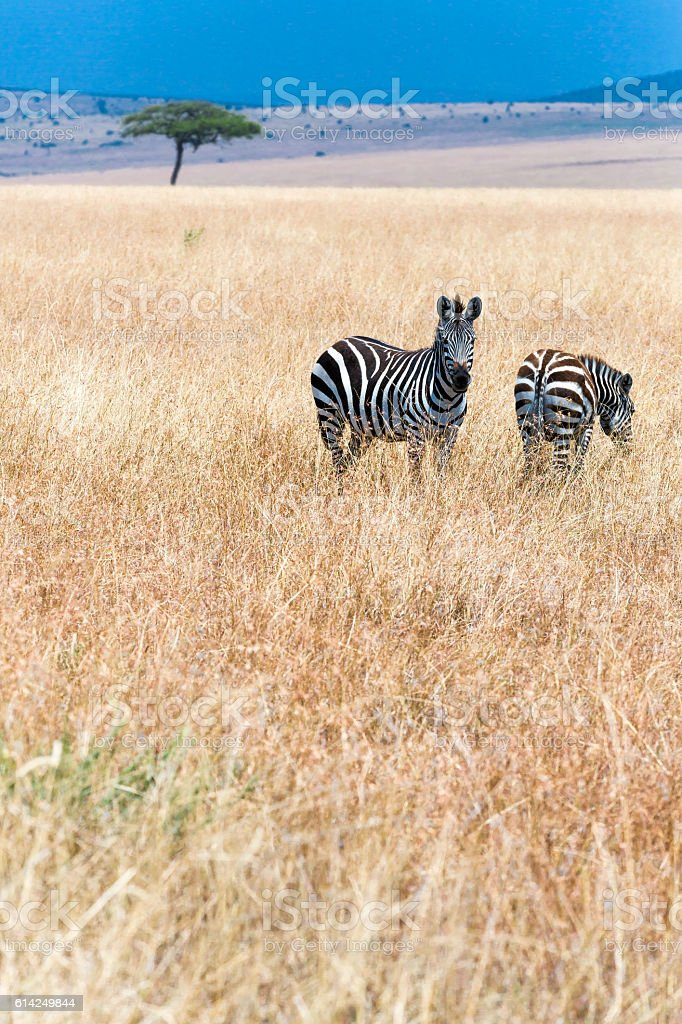 Zebra - looking & feeding stock photo