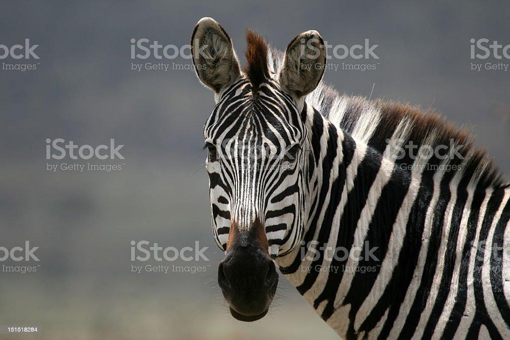 Zebra Looking royalty-free stock photo