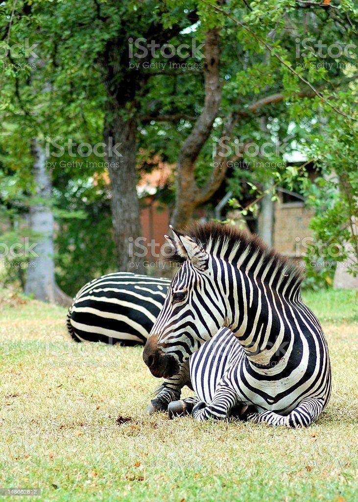 Zebra lying down royalty-free stock photo