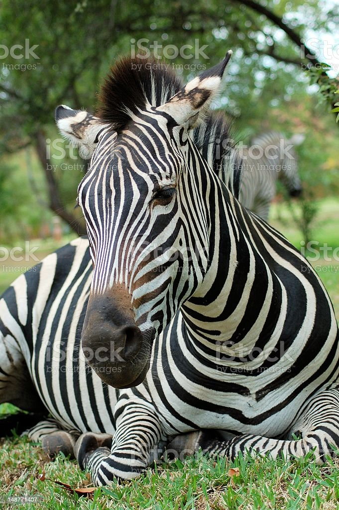 Zebra lying down royalty-free stock photo