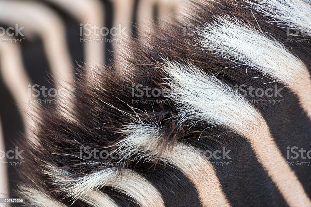 Zebra mane stock photo