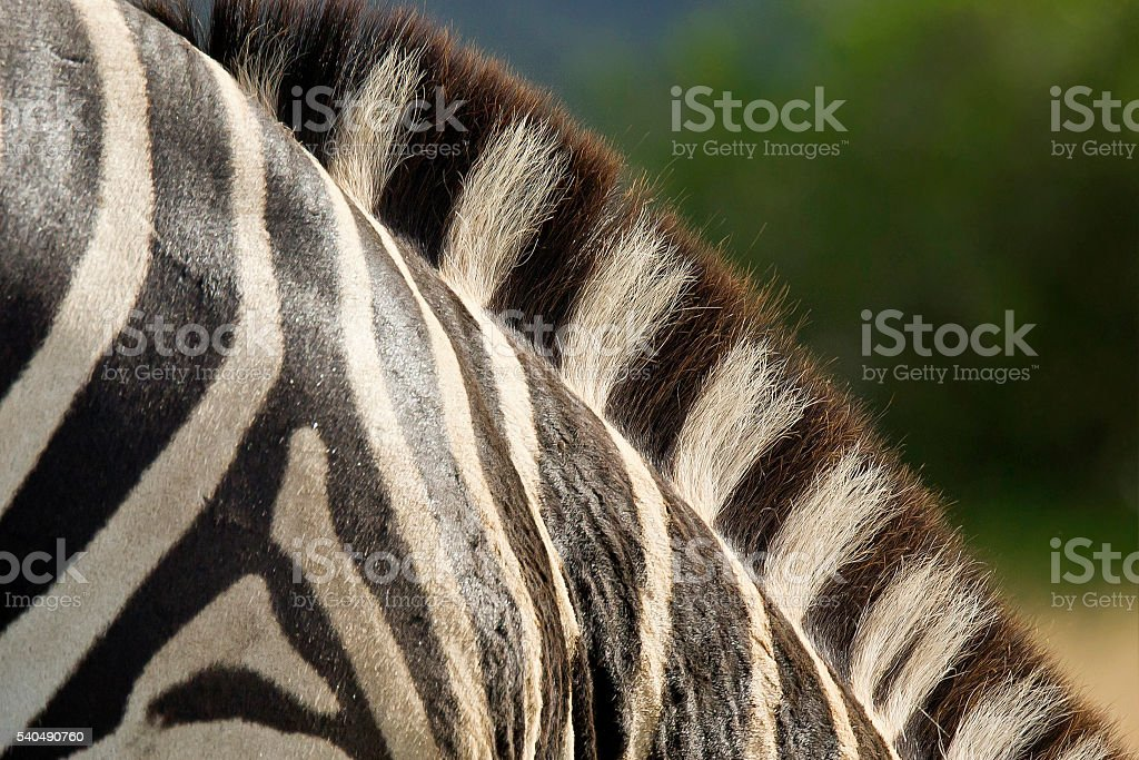 Zebra mane stock photo