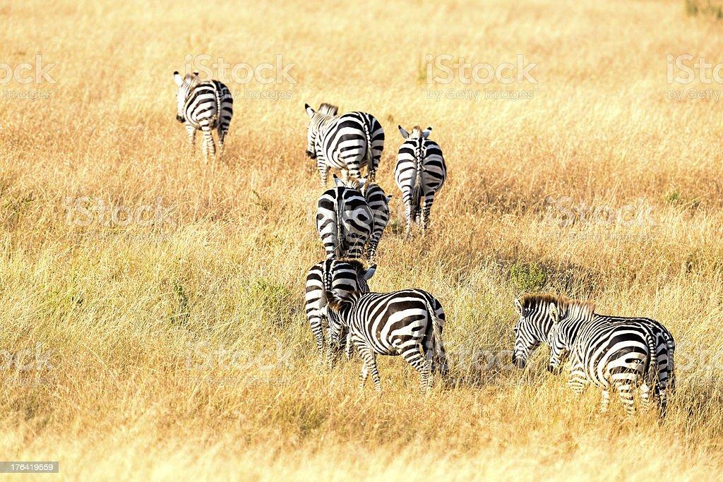 Zebra - Migration royalty-free stock photo