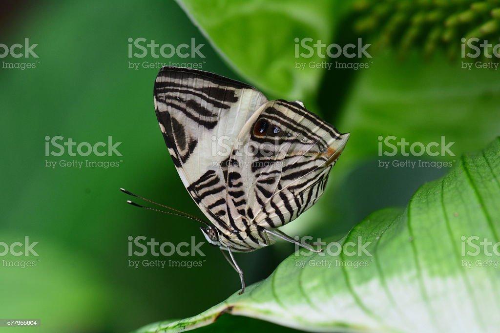 Zebra Mosaic butterfly stock photo