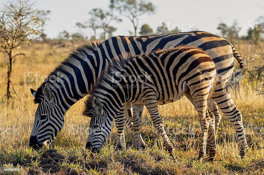 Zebra mother and cub stock photo