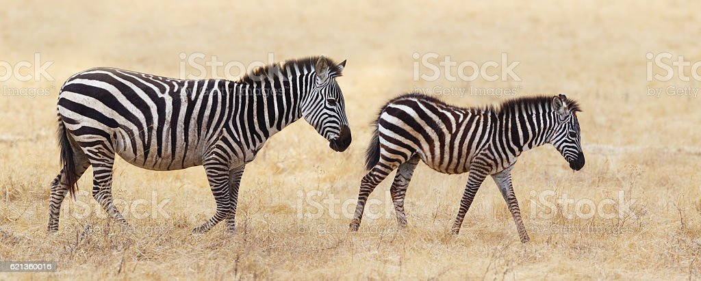 Zebra Mother and Foal at Ngorongoro Crater, Tanzania Africa stock photo